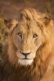 Leone alla luce solare di primo mattino in Kruger NP, Sudafrica fotografia stock