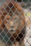 Leone allo zoo Fotografie Stock