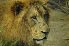 Leone allo zoo di Cincinnati Immagine Stock Libera da Diritti
