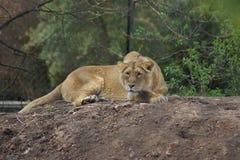 Leone asiatico - persica di Leo della panthera Fotografia Stock