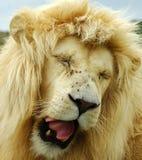 Leone bianco faticoso immagini stock libere da diritti
