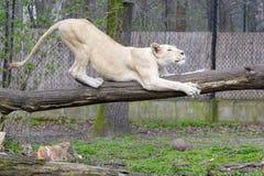 Leone bianco (krugeri di Leo della panthera) Fotografia Stock