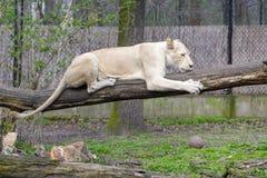 Leone bianco (krugeri di Leo della panthera) Immagine Stock