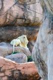 Leone bianco maschio che si trova sulle rocce Immagini Stock