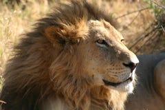 Leone, Botswana Fotografie Stock