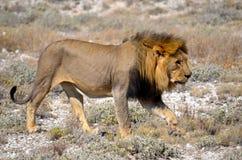 Leone che cammina attraverso il deserto Immagini Stock Libere da Diritti