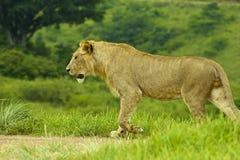 Leone che cammina nella riserva di caccia nel Sudafrica Immagini Stock