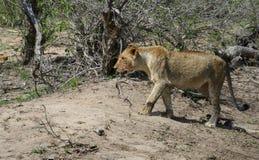 Leone che cammina nella savanna Immagini Stock