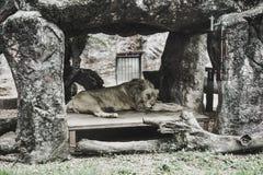 Leone che dorme nella casa di pietra fotografia stock libera da diritti