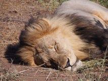 Leone che dorme sulla savanna nel Botswana fotografie stock libere da diritti