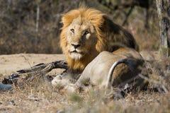 Leone che esamina macchina fotografica Sudafrica Fotografia Stock Libera da Diritti