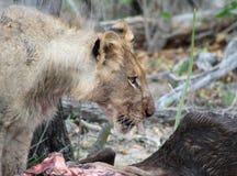 Leone che mangia la sua preda dopo una notte di caccia nella savanna Fotografia Stock Libera da Diritti