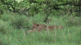 Leone che mangia toro nel sangue dopo avere cercato la savana pericolosa selvaggia Kenya dell'Africa del mammifero video d archivio