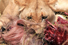 Leone che mangia un Wildebeest Immagini Stock Libere da Diritti