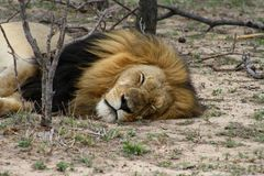 Leone che riposa nella savanna Immagini Stock
