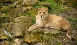 Leone che riposa su una roccia Fotografia Stock