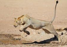 Leone che salta come un gatto sopra l'acqua nella Kalahari Immagine Stock