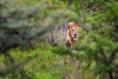 Leone che si nasconde nel Sudafrica Fotografia Stock Libera da Diritti
