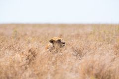 Leone che si nasconde nell'erba Fotografia Stock Libera da Diritti