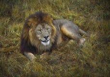 Leone che si trova nell'erba nel parco di safari Fotografia Stock
