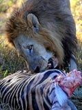 Leone con l'uccisione della zebra Immagini Stock Libere da Diritti