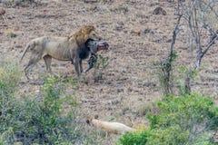 Leone con una testa della zebra Immagini Stock Libere da Diritti
