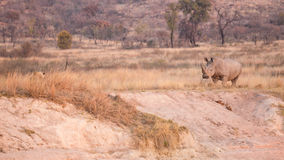 Leone contro il rinoceronte Fotografia Stock