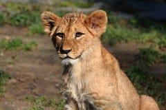 Leone Cub Fotografia Stock Libera da Diritti