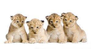 Leone Cub Immagine Stock Libera da Diritti