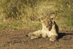 Leone Cub Fotografia Stock