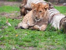 Leone Cub Fotografie Stock