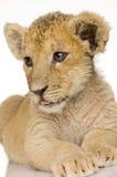 Leone Cub (3 mesi) fotografie stock