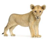 Leone Cub (4 mesi) Immagini Stock