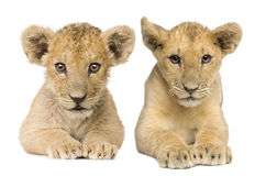 Leone Cub (4 mesi) Immagine Stock