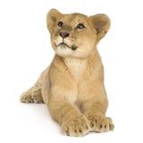 Leone Cub (5 mesi) Immagini Stock Libere da Diritti