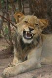 Leone Cub che rugge Fotografia Stock Libera da Diritti