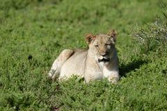 Leone Cub, Sudafrica Fotografie Stock