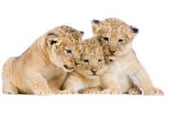 Leone Cubs Immagine Stock