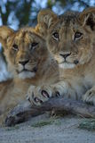 Leone Cubs Fotografie Stock