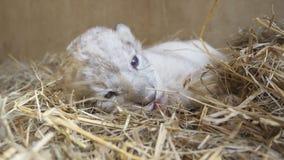 Leone del bambino in zoo Fotografie Stock Libere da Diritti