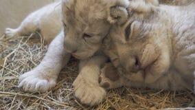 Leone del bambino in zoo Immagine Stock