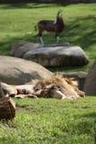 Leone del Katanga - bleyenbergh di Leo della panthera Fotografia Stock