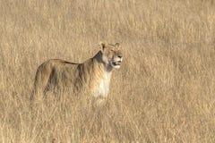 Leone del leone Fotografia Stock Libera da Diritti
