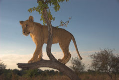 Leone dell'Africa (Panthera leo) Fotografie Stock Libere da Diritti