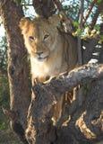 Leone dell'Africa (Panthera leo) Immagini Stock Libere da Diritti