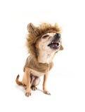 Leone della chihuahua immagini stock