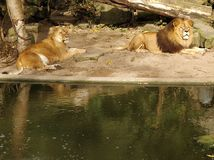 Leone della leonessa immagini stock