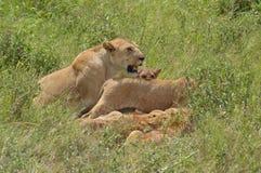 Leone della madre ed i suoi cuccioli Immagine Stock