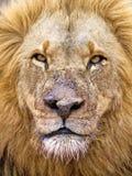 Leone della mafia di Kruger Fotografie Stock Libere da Diritti