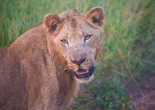 Leone di Afrion nella savana al parco nazionale reale di Hlane Fotografia Stock Libera da Diritti